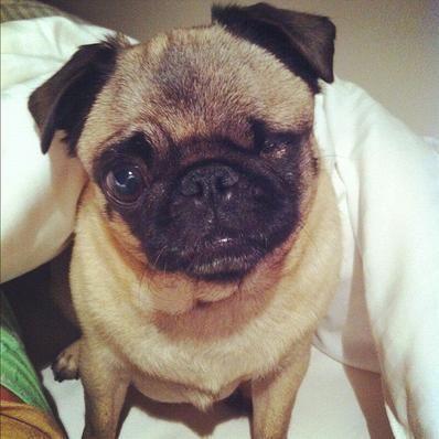 Maya Pewdiepie Google Search Pugs Cute Pugs