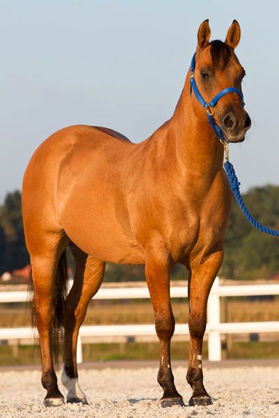 Red Dun Horse | Equines | Horses, Dun horse, Indian horses