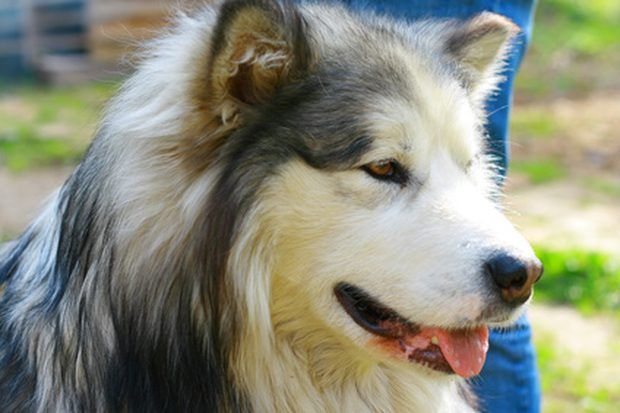 Characteristics Of A White Arctic Wolf Siberian Husky Mix