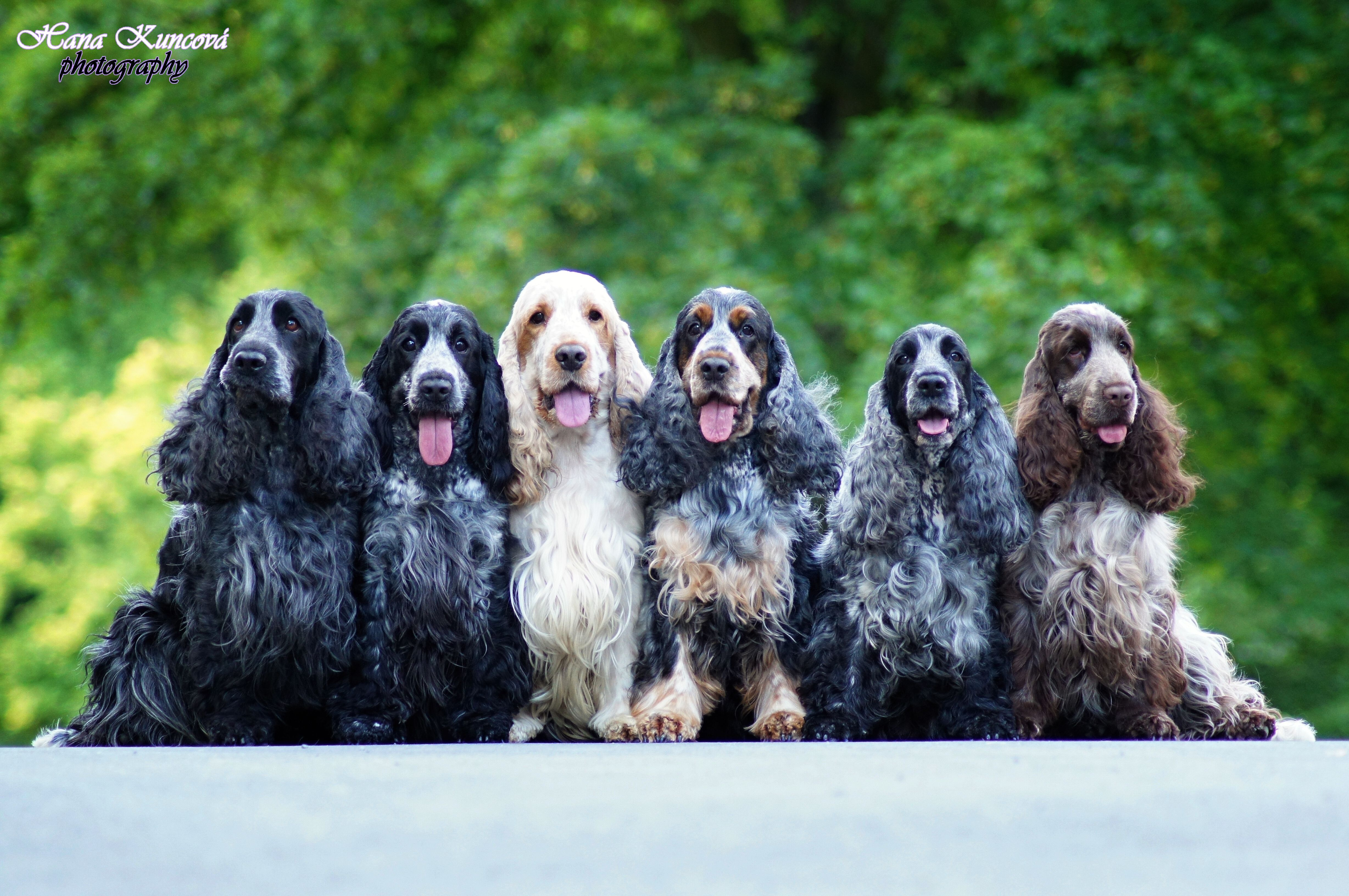 How Bad Do Cocker Spaniels Shed