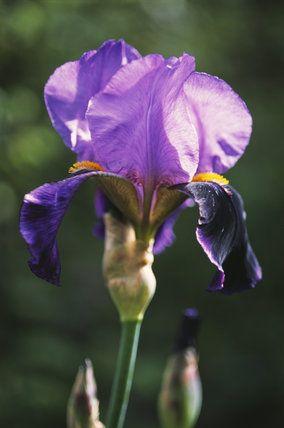 Close up of a iris 'Lothario' growing in the garden at Sissinghurst Castle Garden