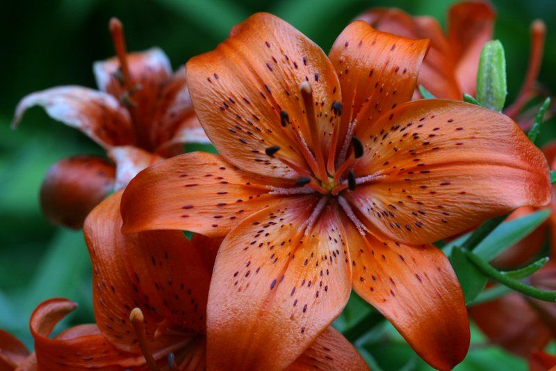 Tiger Lily My Moms Favorite Flower This Is The Picture I Actually