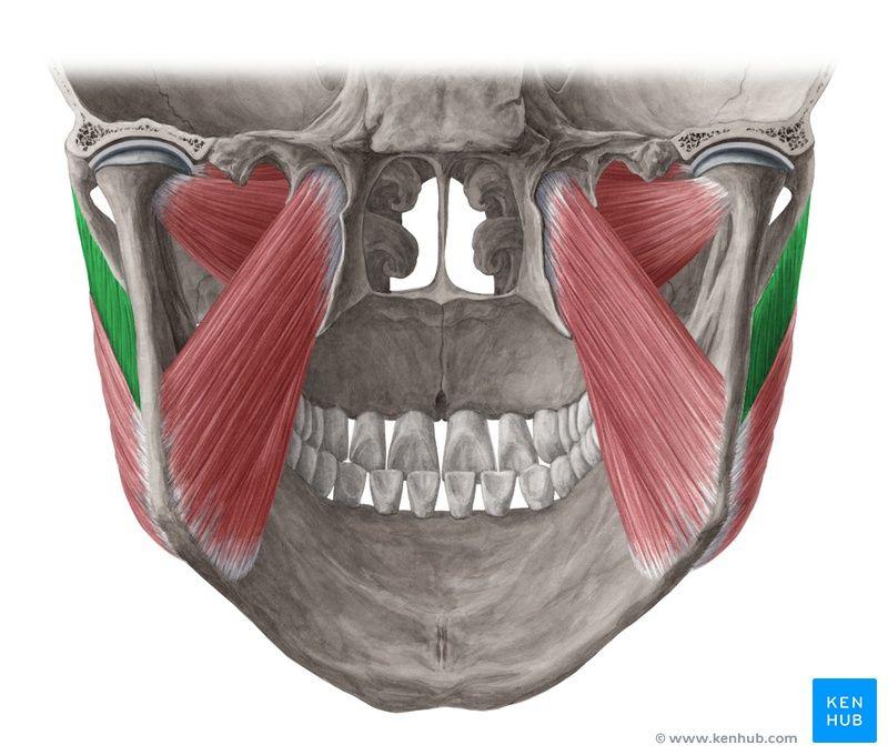 Masseter Muscle Naina Anatomy Muscle Head Neck