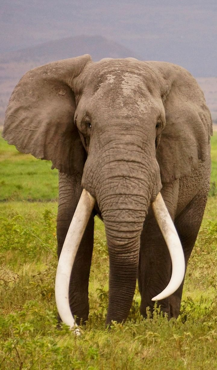 About Wild Animals: An elephant with enormous tusks