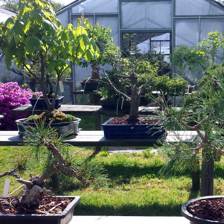A Bonsai Nursery Located In Ringoes Nj Allshapes