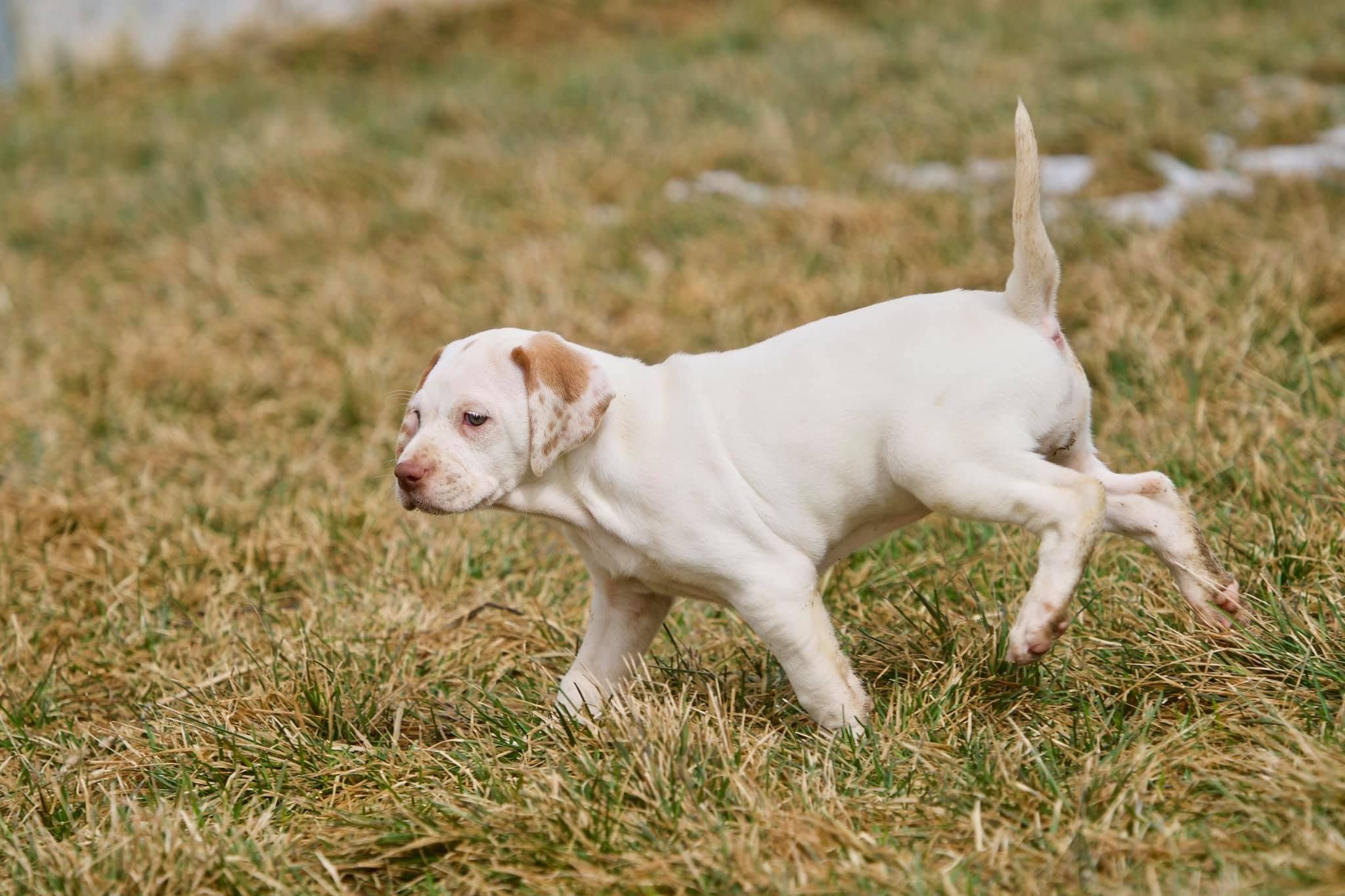 Pin by Indian Head on English Pointers Labrador