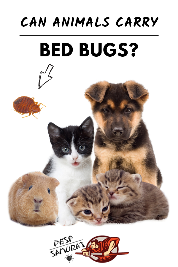 Bed Bugs on Animals Can Animals Carry Bed Bugs Bed bugs