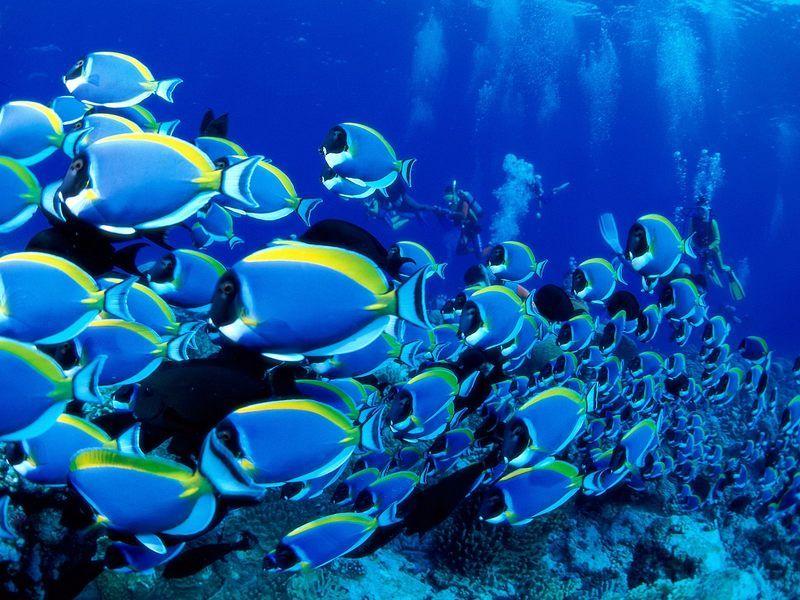 Powder Blue Tangs Schooling Underwater Wallpaper Blue Tang Fish Life Under The Sea