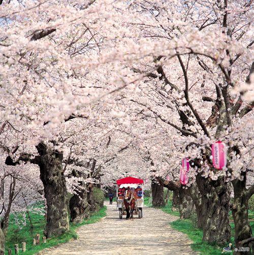 Hanami Cherry Blossom Tour Cherry Blossom Japan Cherry Blossom Season