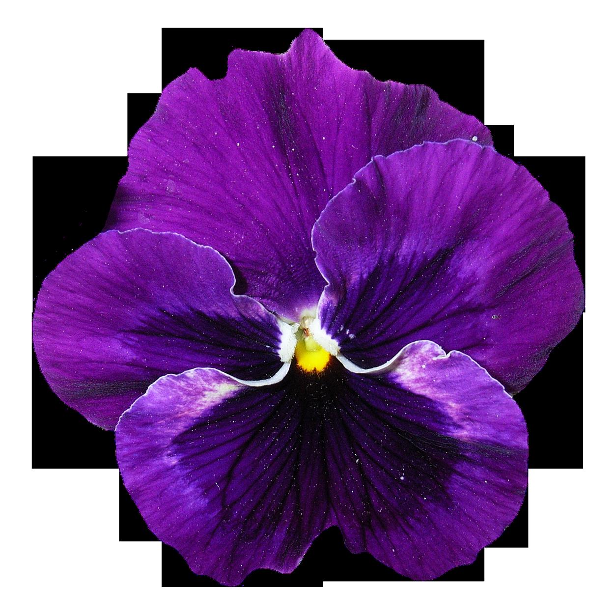 Pansy Flower Png Image Pansies Flowers Flower Background Wallpaper Pansies
