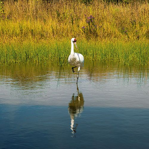 """Under Their Wing. In the 1940s, the world's population of whooping cranes totaled about 20. To combat the birds' rapid decline, a group of government organizations launched a program at Patuxent Wildlife Research Center in Laurel to breed and raise the birds—called """"whoopers""""—then lead their first migration, introducing them to life in the wild.   People & Politics   Washingtonian"""