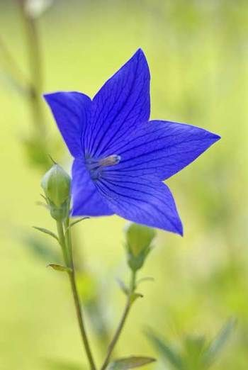 Pin By Star521 On Flowers Flowers Nature Balloon Flowers Unusual Flowers