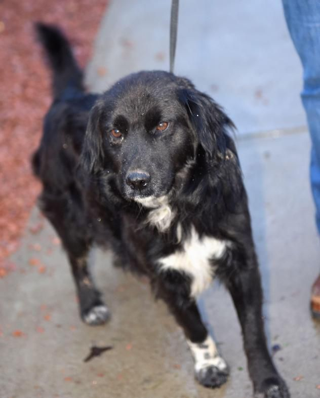 Joseph Border Collie Mix Flat Coated Retriever Young Male