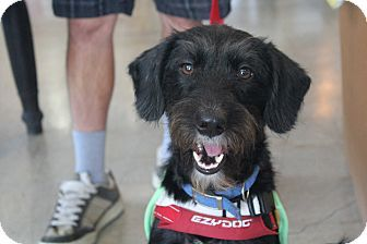Chatsworth Ca Irish Terrier Terrier Unknown Type Small Mix Meet Montana A Dog For Adoption Http Www Adoptapet Com Pe Dog Adoption Irish Terrier Pets