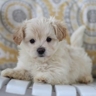 Malshi Maltipoo Maltese Poodle Maltese Shihtzu Puppies For Sale Puppies Maltese Poodle Maltipoo Puppy
