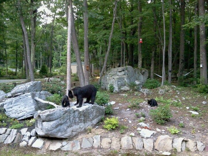 Bears in the front yard.   Mountain resort, Bear, Front yard