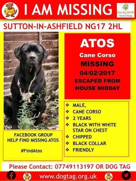 Atos Male Cane Corso Sutton In Ashfield Sutton In Ashfield