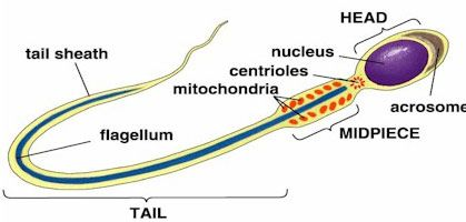 Mammal sperm cell parts functions