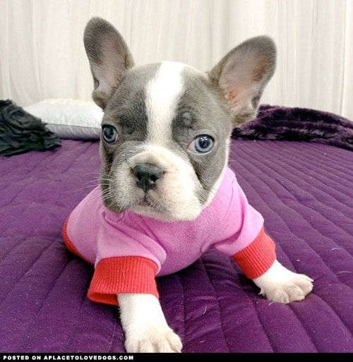 What A Little Sweetheart French Bulldog Puppy On Her Very First Day Home Ain T She Just So Darn Sweet Kittens And Puppies Super Cute Animals Cute Animals