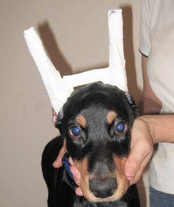 Ear Posting Backer Rod Method Doberman Breeders Doberman