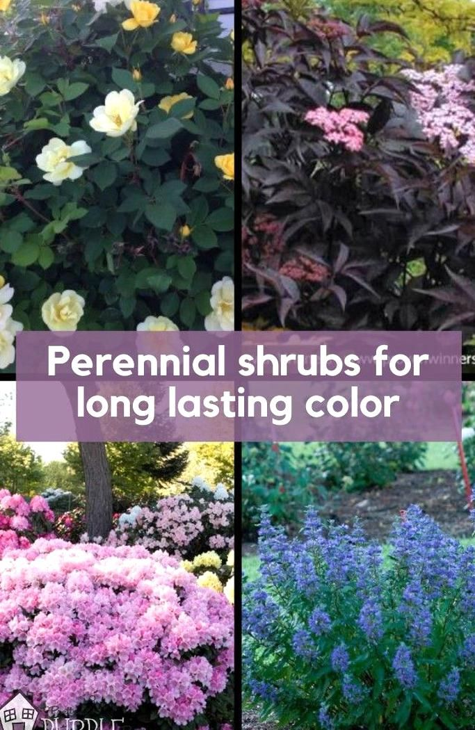 These Flowering Bushes Can Add Lots Of Long Lasting Color And Personality And Are Large Enough To Make In 2020 Perennial Shrubs Flowering Bushes Perennial Garden Plans