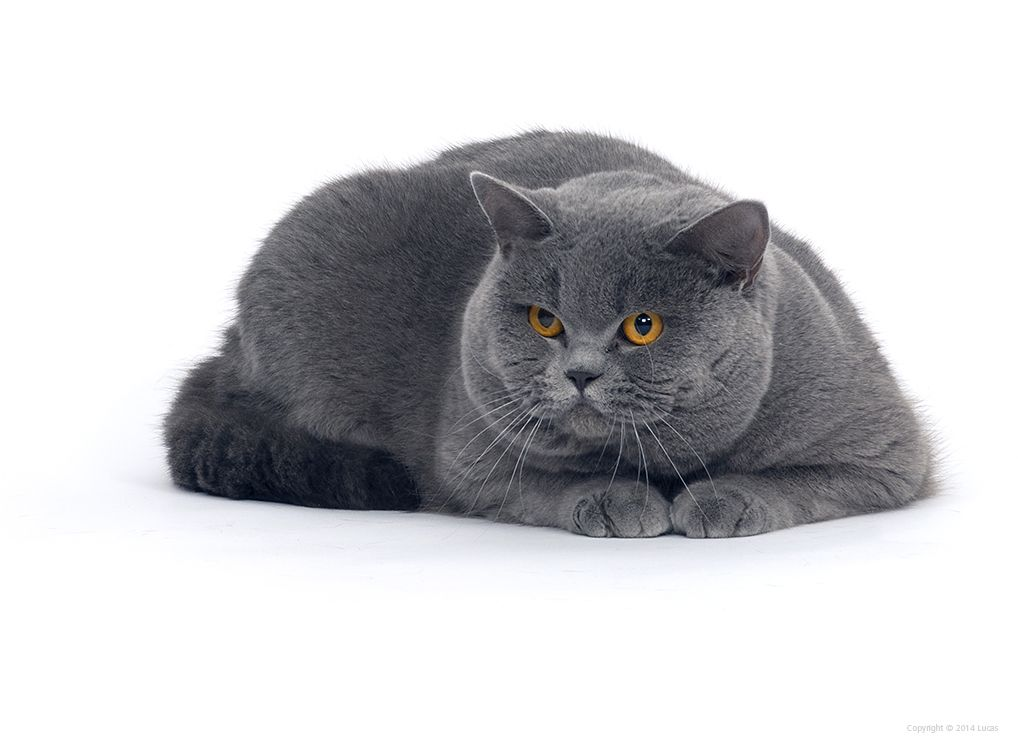 Pin By Lucas Cats On British Shorthair British Shorthair Cats Cute Cat Cat Pics