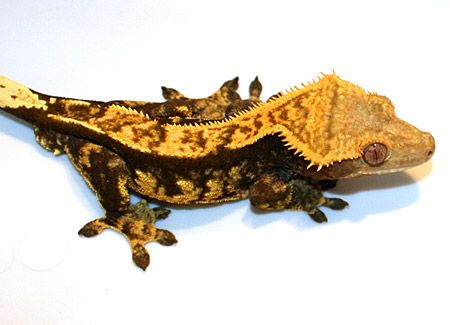 crescent gecko