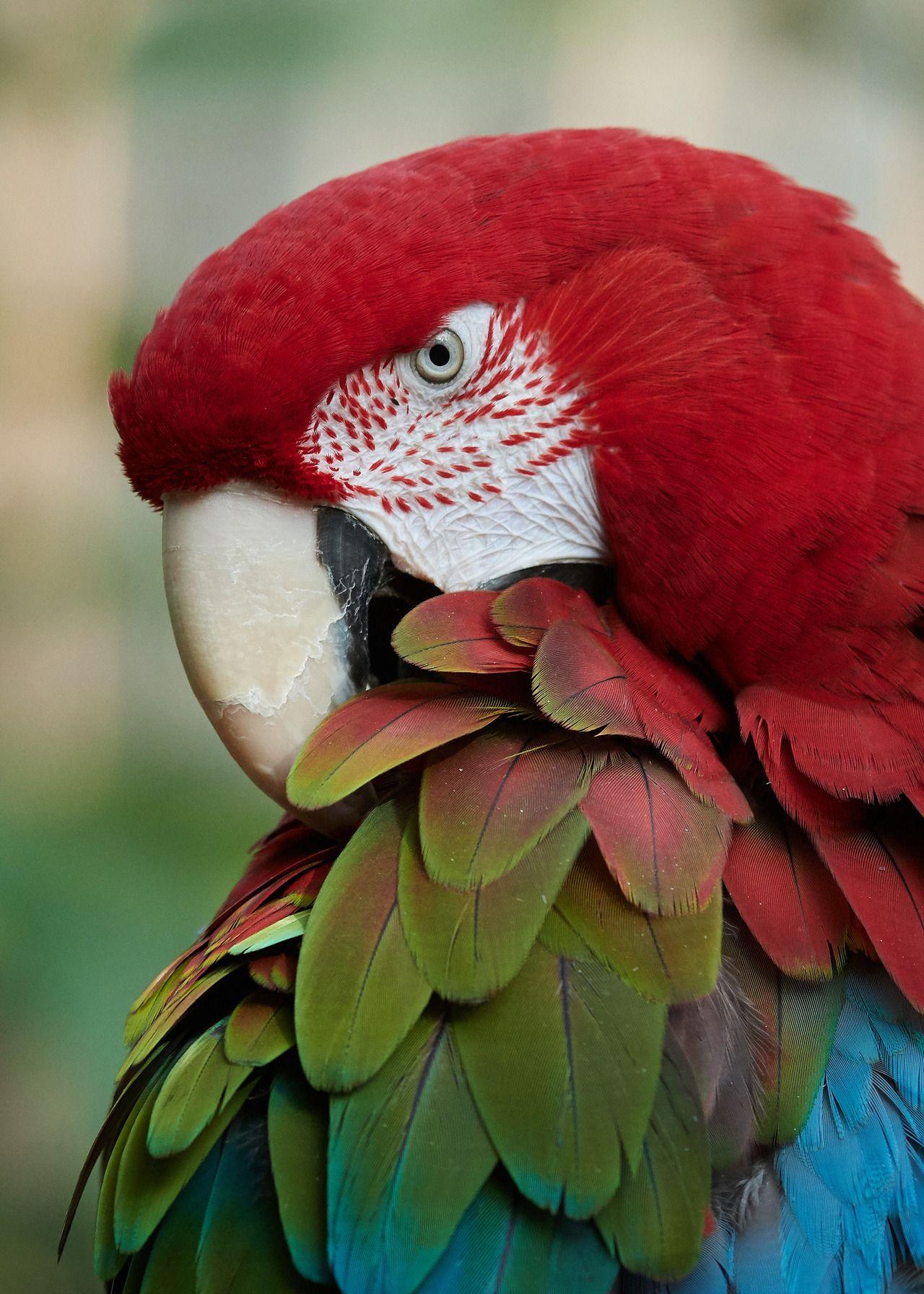 "meklarian ""Maria GreenWinged Macaw Bloedel Conservatory"