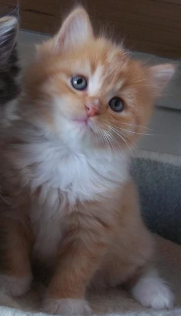 Ragamuffin Cats Ragamuffin Kittens Shrewsbury Shropshire Uk