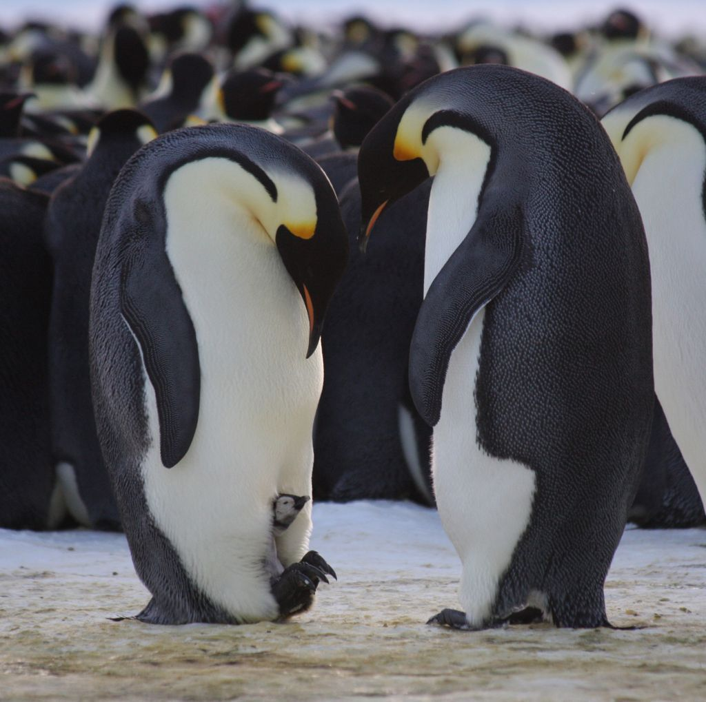 A List Of Animals That Start With E This Large Collection Of Animals Starting With E Contains The Meaning And An Example Of T Penguins Emperor Penguin Animals
