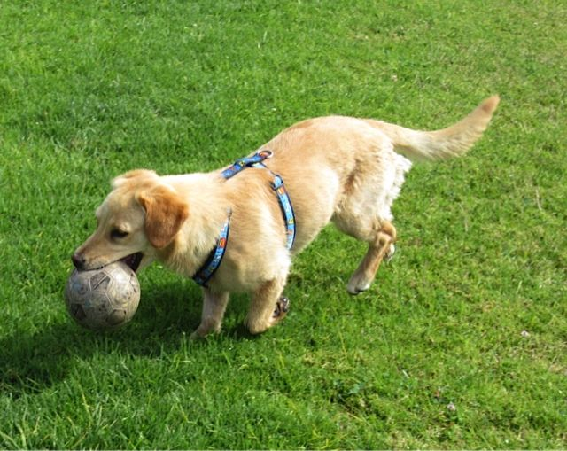 LunaMoon Lab LoveYou always wanted a sweet, playful Yellow Lab who weights less than 50 lbs.?  Meet Luna, a small version of the Yellow Lab you have been longing for.  At just 30 lbs. and 2 years old, she is the perfect medium size dog for the...