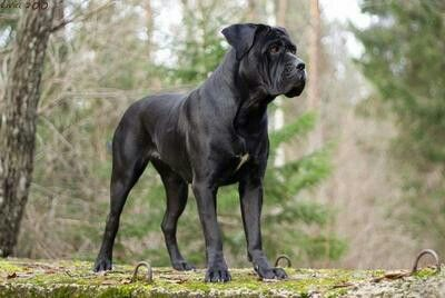 Black Cane Corso Hope My Puppy Grows Up To Look Like This
