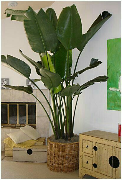 This Article Is About Indoor Plants But I Love The Images For Inspiration Giant Bird Of Paradise Amazing Also Philodendron