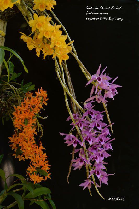 Conjunto de Dendrobiums