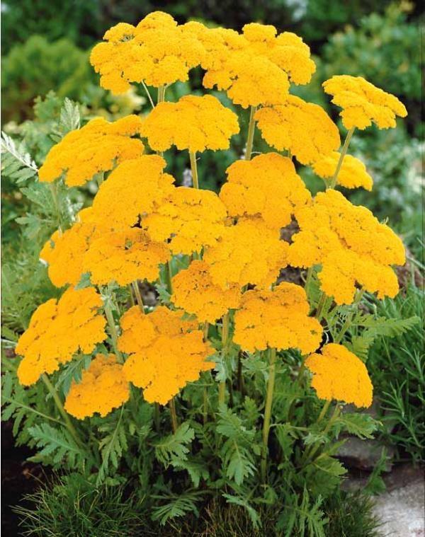 Achillees Jaunes Avec Images Fleurs Vivaces Plante Vivace
