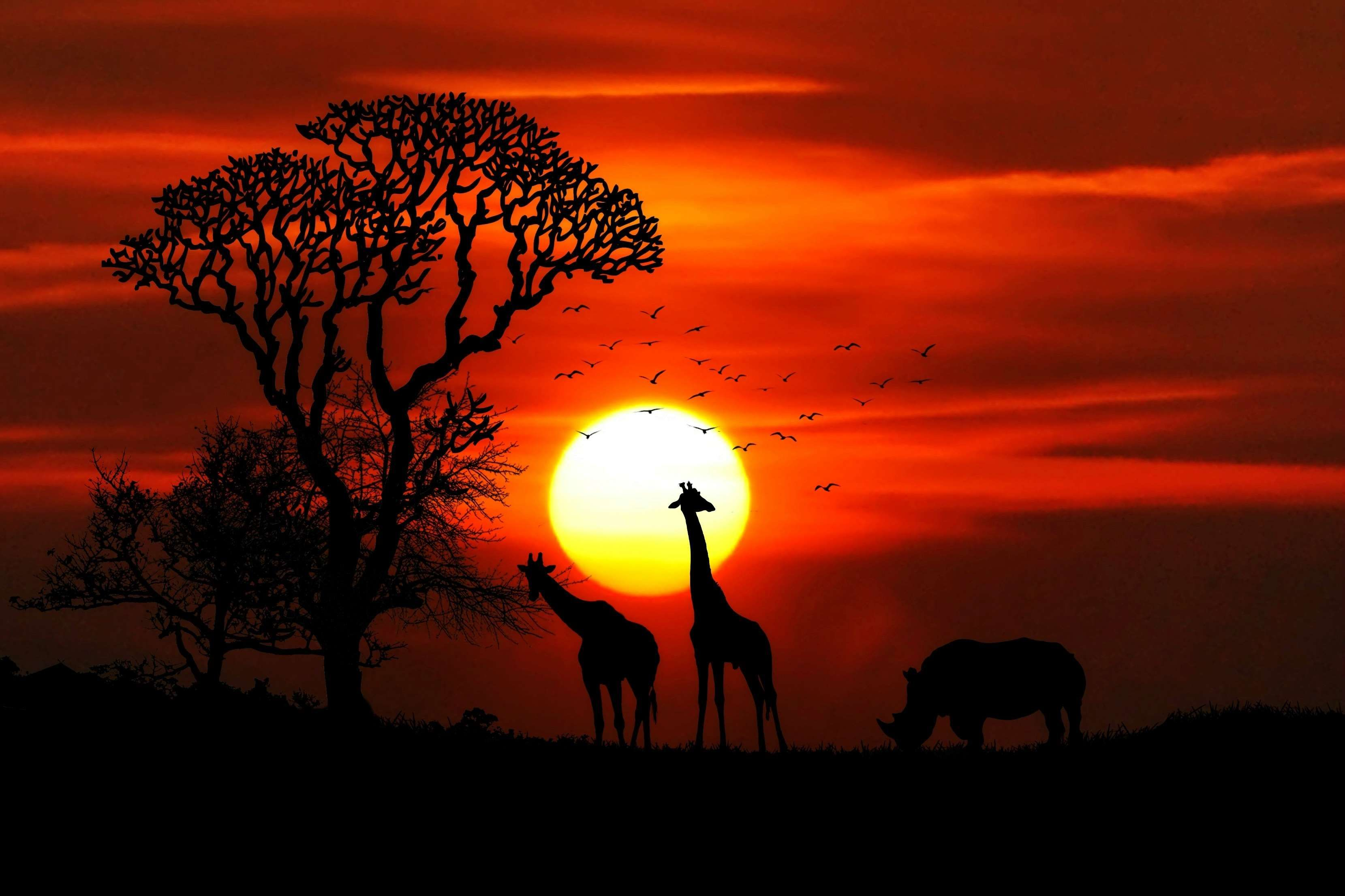 Animals Birds Dawn Giraffe Giraffes Landscape Nature Outdoors Rhino Safari Savannah Silhouette Sun Sunse African Sunset Sunset Canvas Animals Wild