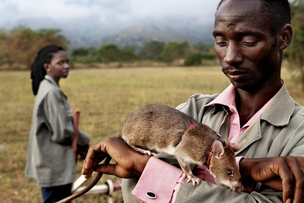 Rats Sniff Out Danger: 15 Years of Land Mine Progress - Really, isn't it just too sad that, because of man's insidious violence against their own species, they now need to exploit other animal species to sniff out their evil deeds? Dogs & even rats do NOT 'volunteer' to put their lives in danger.
