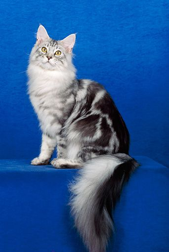 Classic Silver Tabby Tabby Cat Silver Tabby Cat Purebred Cats