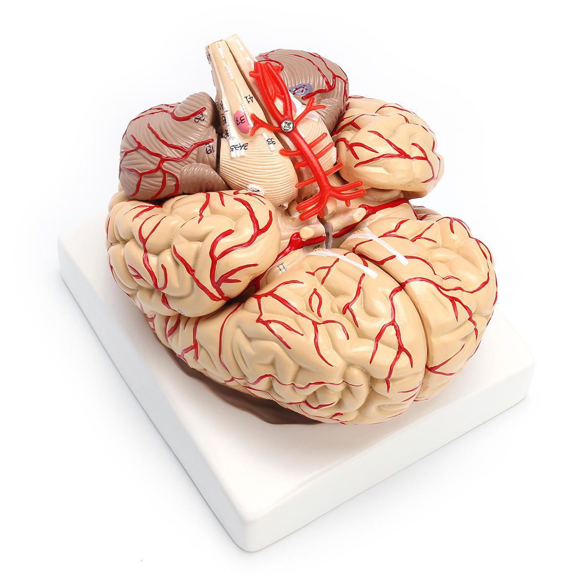 Us 49 99 1 1 Life Size Scientific Human Brain Arteries