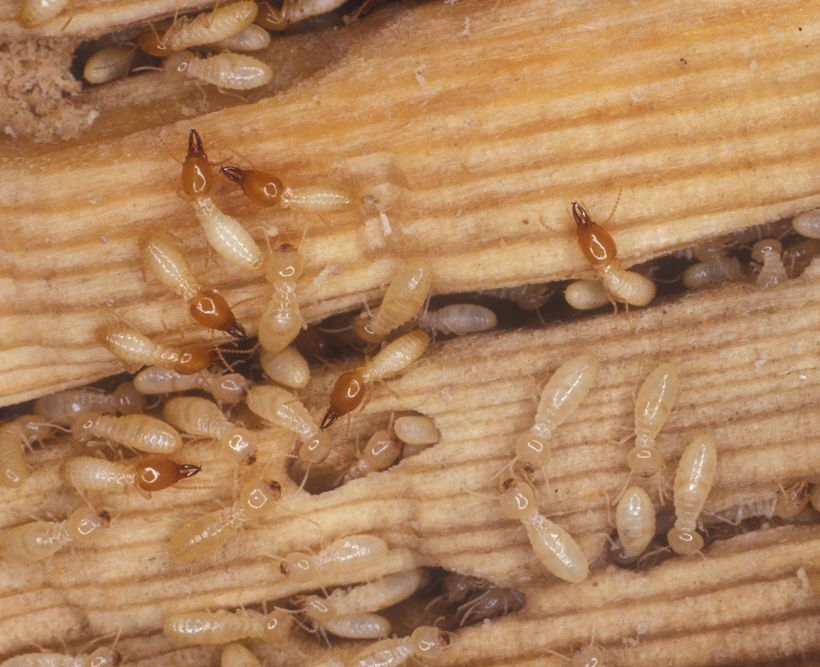Formosan Subterranean Termites Coptotermes Formosanus Are Larger Than Native Subterranean Termites They Are Very Termite Control Termites Types Of Termites