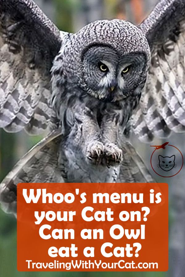 Can an Owl eat a Cat? Cats, Cat care, Cat nutrition