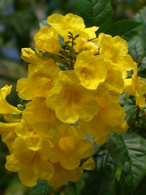 Gold star esperanza yellow bells yellow elder trumpet bush gold star esperanza yellow bells yellow elder trumpet bush esperanza tecoma stans texas yellow bells mightylinksfo