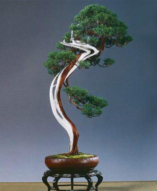 A Stately Three Foot Tall Bunjin Kyshui Shimpaku Juniperus