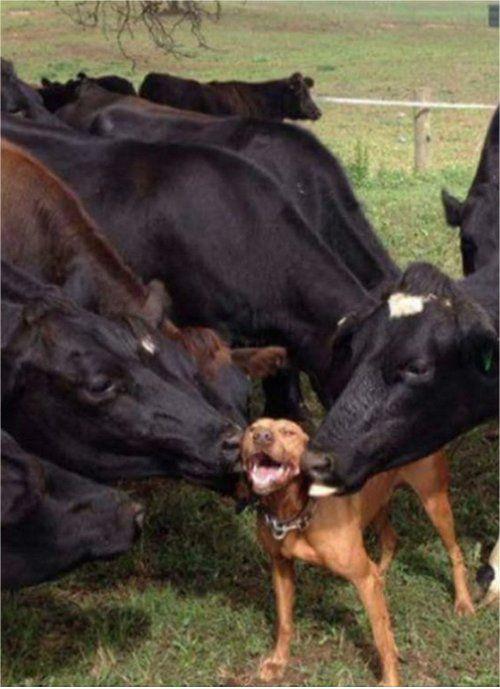 Random Photo: Dairy Licking is Awesome - MajorGeeks