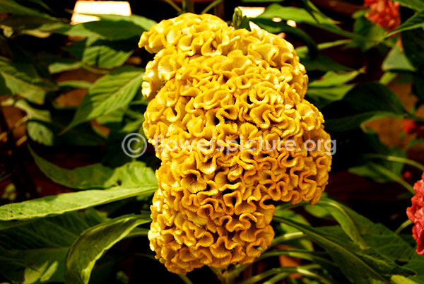 Cockscomb Cockscomb Yellow Woolflowers Botanical Name Celosia Cristata Family Amaranthaceae Amaranth Famil Flower Seeds Ornamental Plants Planting Flowers