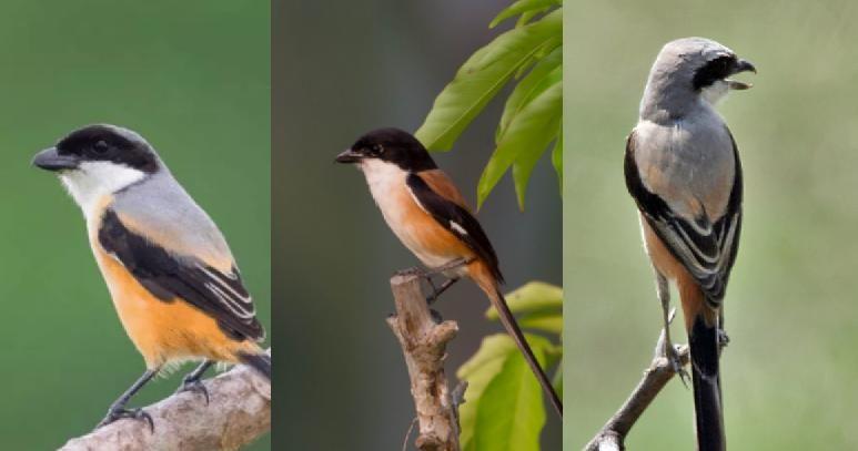 Download 7 Suara Burung Cendet Pilihan Isian Mantap Hewan