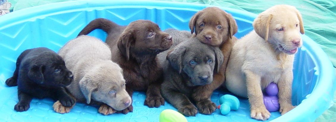 Chocolate Yellow Black White Silver And Red Labrador