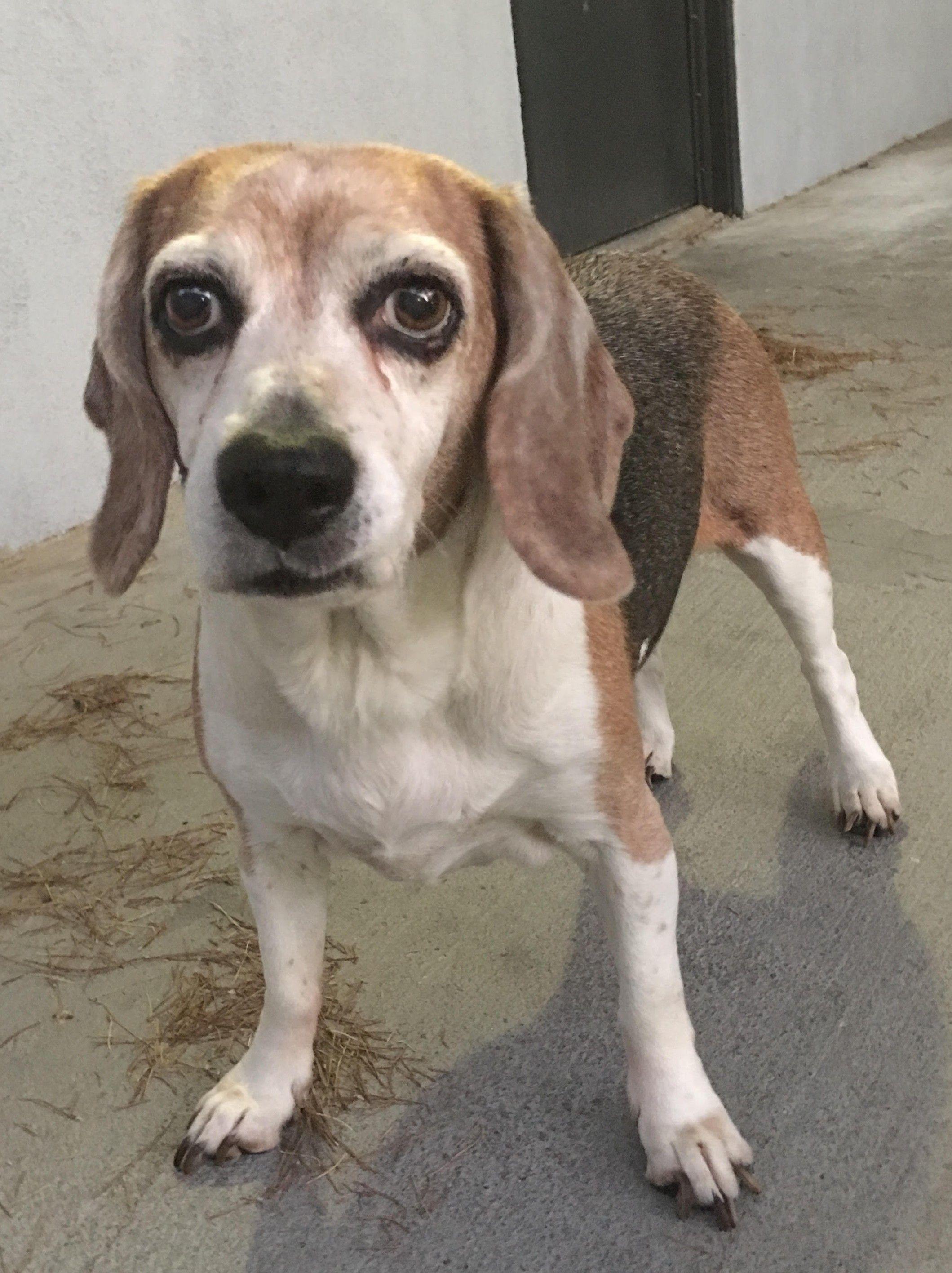 Beagle Dog For Adoption In Las Vegas Nv Adn 420730 On Puppyfinder Com Gender Female Age Senior Dog Adoption Beagle Dog Beagle