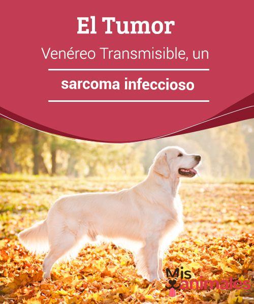 El Tumor Venereo Transmisible Un Sarcoma Infeccioso Mascotas