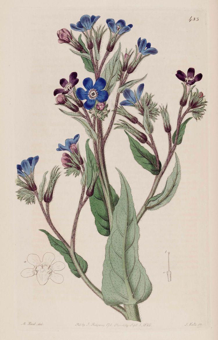 Italian Bugloss - Anchusa azurea - circa 1820